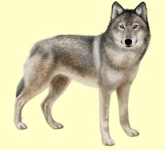 Loup ##STADE## - robe 52