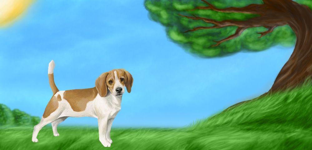 Caline - Beagle de 2 ans et 7 mois