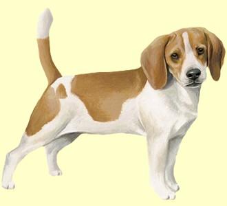 Beagle ##STADE## - robe 5